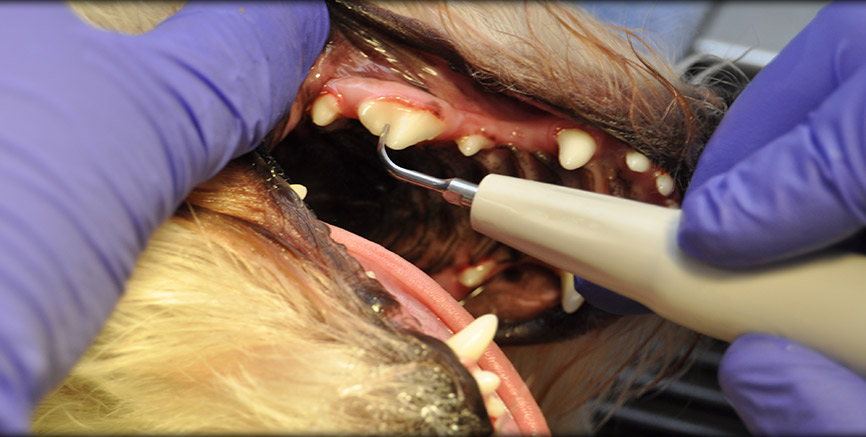 Routine Dental Care at Greentree Animal Hospital